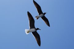 Soaring seagulls. Two soaring seagulls in the blue sky Royalty Free Stock Photo