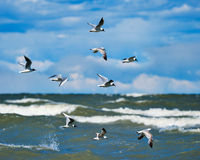 Soaring seagulls Royalty Free Stock Image