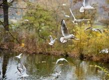 Soaring seagulls Stock Image