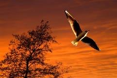 soaring solnedgång för seagull Royaltyfria Bilder