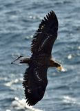 Soaring Steller`s sea eagle. Blue sea background. Juvenile Steller`s sea eagle. Stock Photo