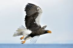 Soaring Steller`s Sea Eagle. Blue Sky Background. Stock Photo