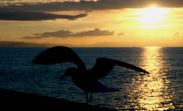 Soaring at Sunset. A seagull gets ready to soar off the pier at sunset in California stock images