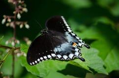 Soaring swallowtail stock photo