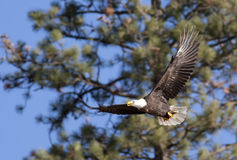 Soaring by the trees. Royalty Free Stock Images