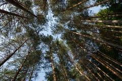 Soaring trees Royalty Free Stock Image