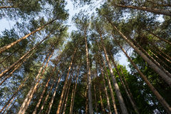 Soaring trees Royalty Free Stock Photos
