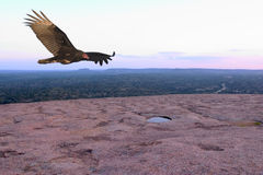 Soaring Vulture. Turkey vulture soaring over the summit of the Enchanted Rock, Enchanted Rock State Natural Area, Texas Royalty Free Stock Images