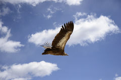 Soaring vulture Stock Photos