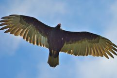 Soaring Vulture. Turkey vulture soaring through the blue sky Stock Images