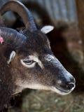 Soay Sheep Stock Photos