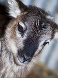 Soay Sheep Royalty Free Stock Images