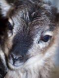 Soay Sheep Stock Photography
