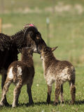 Soay Sheep Royalty Free Stock Photo