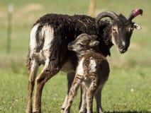 Soay Sheep Royalty Free Stock Photos