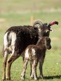 Soay Sheep Royalty Free Stock Images