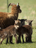 Soay Sheep Royalty Free Stock Photography