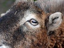 Soay sheep eye Royalty Free Stock Photography