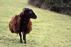 Soay sheep in field. A brown rare breed sheep on a farm in Somerset, UK Stock Images