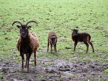 Soay sheep and twin lambs Stock Image