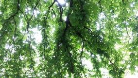 Sob a árvore de castanha Imagem de Stock Royalty Free