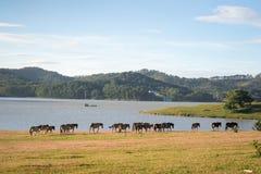 Sob a luz solar, os cavalos selvagens comem o vidro pelo lago Fotos de Stock