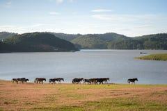 Sob a luz solar, os cavalos selvagens comem o vidro pelo lago Fotos de Stock Royalty Free
