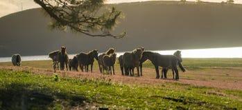 Sob a luz solar, os cavalos selvagens comem o vidro pelo lago Imagem de Stock Royalty Free