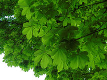 Sob o dossel de árvore da castanha Imagem de Stock