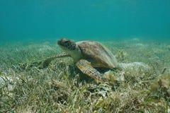 Sob o fundo do mar gramíneo o Pacífico da tartaruga de mar verde da água fotos de stock