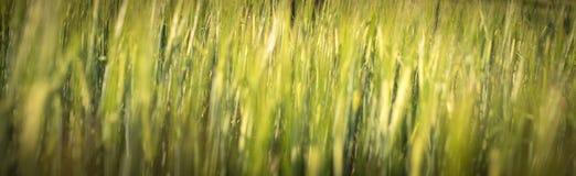 Sob o sol brilhante Fundos naturais abstratos A grama verde fresca da mola no gramado com o foco seletivo borrou o bokeh Imagens de Stock