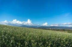 Sob o sol o campo da mostarda com a flor branca em DonDuong - Dalat- Vietname fotos de stock