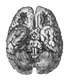 Sob a superfície do cérebro Conceito da educação da anatomia - vista de baixo do cérebro e do brainstem ilustração royalty free