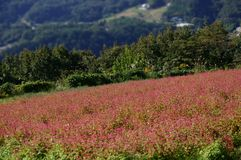 Soba farm. Flower of the red buckwheat Royalty Free Stock Image