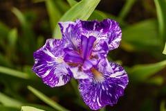 Sobald diese blaue Irisblüte erschließen, dreht die Blume Purpur stockfotos
