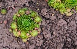 Soboliferum de Sempervivum Suculento verde en la tierra, fondo natural fotografía de archivo
