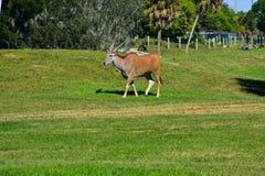 Sobolowe antylopy chodzi na afrykańskiej jednakowej scenerii przy Zatoka Tampa terenem zdjęcia royalty free