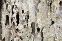 Sobras de um tronco de árvore velho sem árvore de casca comida pelos sem-fins de madeira Foto de Stock Royalty Free