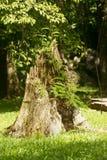 Sobras de uma árvore inoperante Fotos de Stock Royalty Free