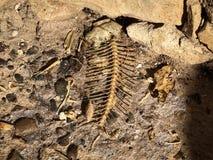 Sobras dos ossos e do esqueleto de peixes imagens de stock royalty free