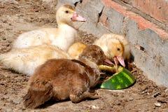 Sobre como un pato que come la sandía Imagen de archivo