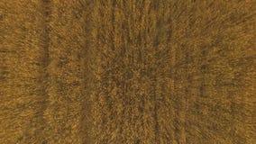 Sobre el campo del trigo almacen de video