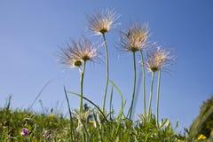 Sobre a florescência de Pasqueflower fotografia de stock