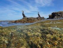 Sobre la roca inferior de los pájaros de los cormoranes del mar mediterránea fotos de archivo