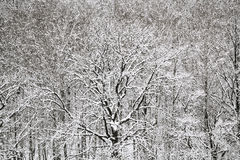 Sobre la vista del bosque del roble y del abedul de la nieve Imágenes de archivo libres de regalías