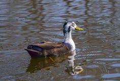 Sobre o pato selvagem Fotos de Stock Royalty Free