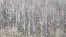Sobre vista de la arboleda desnuda del abedul en bosque en primavera almacen de metraje de vídeo