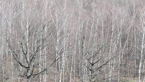 Sobre vista del roble negro desnudo en bosque del abedul en primavera metrajes