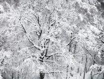 sobre vista del roble nevado en nevadas Fotografía de archivo