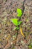 Sobrevivência de uma planta pequena em uma parede Imagem de Stock